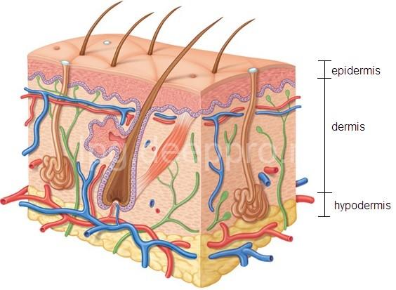 dermatoskopiya