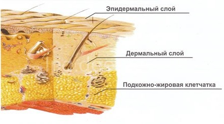 Дерма и эпидермис человека